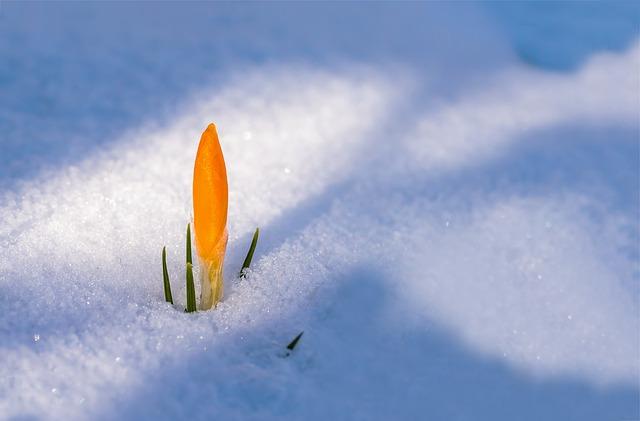 spring snow crocus